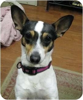 Rat Terrier Mix Dog for adoption in Jacksonville, North Carolina - Charli