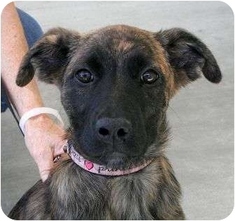 Pit Bull Terrier/Labrador Retriever Mix Puppy for adoption in Phoenix, Oregon - Paddy