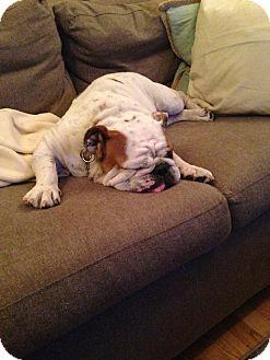 English Bulldog Dog for adoption in Cibolo, Texas - Willow