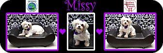 Shih Tzu Mix Dog for adoption in Troy, Michigan - Missy