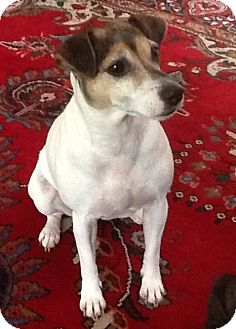 Jack Russell Terrier Mix Dog for adoption in Richmond, Virginia - Marlie