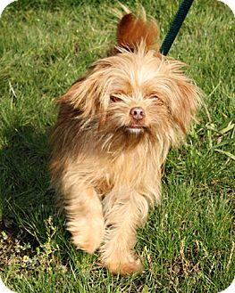Poodle (Miniature)/Yorkie, Yorkshire Terrier Mix Dog for adoption in Bellingham, Washington - Felix