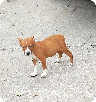 Black Mouth Cur/Labrador Retriever Mix Puppy for adoption in Ormond Beach, Florida - Ryan