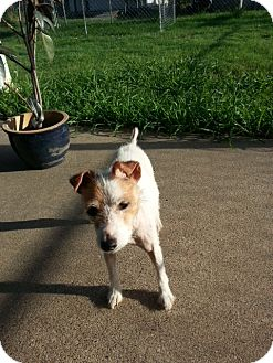 Jack Russell Terrier Dog for adoption in Austin, Texas - Lilly