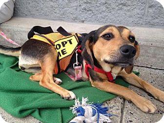 Hound (Unknown Type) Mix Dog for adoption in Trenton, New Jersey - Callie
