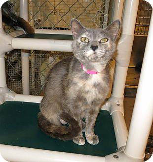 Domestic Mediumhair Cat for adoption in Geneseo, Illinois - Iris