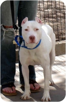 American Staffordshire Terrier/American Bulldog Mix Dog for adoption in New York, New York - Molly