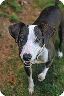Beagle/Pointer Mix Dog for adoption in Charlotte, North Carolina - Grace