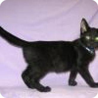 Domestic Shorthair Cat for adoption in Powell, Ohio - Truman