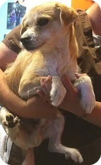 Terrier (Unknown Type, Small) Mix Dog for adoption in Westminster, California - Zepplin