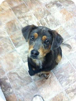 Hound (Unknown Type)/Labrador Retriever Mix Puppy for adoption in Darlington, South Carolina - Rina