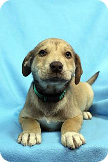 Labrador Retriever Mix Puppy for adoption in Westminster, Colorado - Idle