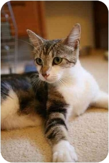 Domestic Shorthair Cat for adoption in Yorba Linda, California - Mommy
