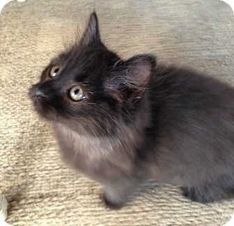 Domestic Longhair Kitten for adoption in Toledo, Ohio - Tito