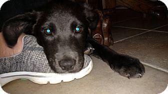Labrador Retriever/Shepherd (Unknown Type) Mix Puppy for adoption in Baltimore, Maryland - Chachi