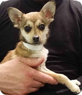 Chihuahua Mix Dog for adoption in Muskegon, Michigan - Roxann