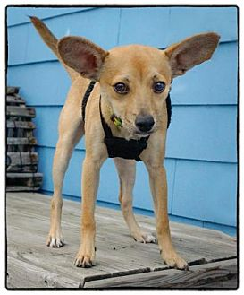 Chihuahua Mix Puppy for adoption in Freeport, New York - P.J.