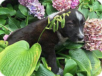 Australian Shepherd/Border Collie Mix Puppy for adoption in Gallatin, Tennessee - Cleopatra