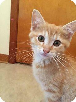 Domestic Shorthair Kitten for adoption in Greensburg, Pennsylvania - Tigger