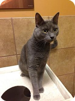 Domestic Shorthair Cat for adoption in Plymouth Meeting, Pennsylvania - Winter