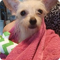 Terrier (Unknown Type, Small)/Westie, West Highland White Terrier Mix Dog for adoption in Chattanooga, Tennessee - Cricket