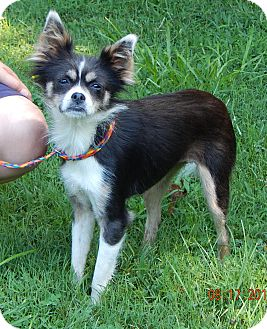 Papillon/Terrier (Unknown Type, Small) Mix Dog for adoption in SUSSEX, New Jersey - Gracie(11 lb) Sweetie Pie!