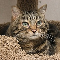 Domestic Shorthair Cat for adoption in Naperville, Illinois - Pippin