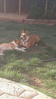 Jack Russell Terrier/Chihuahua Mix Dog for adoption in El Paso, Texas - Mama