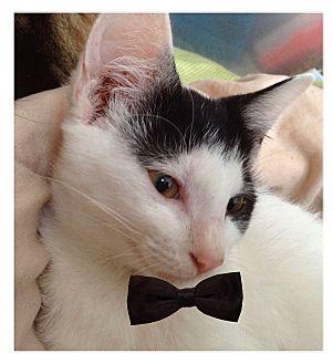 American Shorthair Cat for adoption in Wildwood, Florida - Trinity