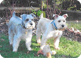Miniature Schnauzer Dog for adoption in Sharonville, Ohio - Brody and Kirby~~ADOPTION PEND