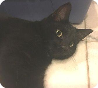 Domestic Shorthair Kitten for adoption in Hillside, Illinois - Frosty- 4-5 MONTHS