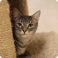 Domestic Shorthair Cat for adoption in Richmond, Virginia - Hushpuppy