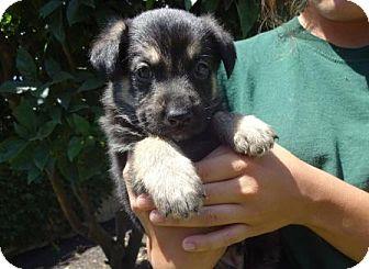 German Shepherd Dog Mix Puppy for adoption in Lathrop, California - Baxter