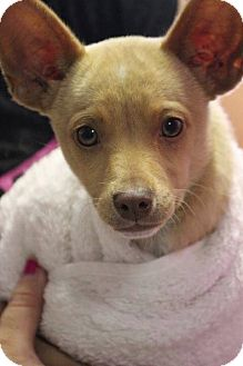Chihuahua Mix Dog for adoption in Baltimore, Maryland - Fraggle