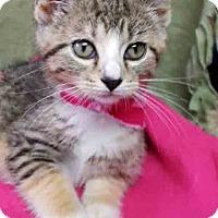 Adopt A Pet :: Frisky - Gahanna, OH