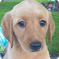 Adopt A Pet :: Fudgetta#2F - Orlando, FL