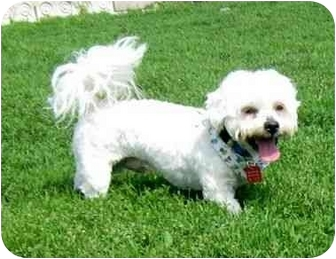 Lhasa Apso Mix Dog for adoption in Ile-Perrot, Quebec - Moe