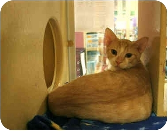 Domestic Shorthair Cat for adoption in Orlando, Florida - Zenith