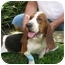 Photo 2 - Basset Hound Dog for adoption in Folsom, Louisiana - Tess