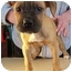 Photo 4 - Shar Pei/Boxer Mix Puppy for adoption in North Judson, Indiana - Crawford