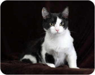 Domestic Shorthair Cat for adoption in Port Hope, Ontario - Ringo