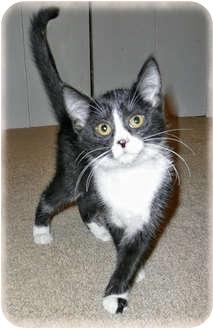 Domestic Shorthair Kitten for adoption in Brighton, Michigan - Babble