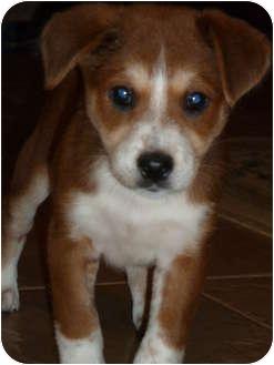 Collie/Labrador Retriever Mix Puppy for adoption in Naperville, Illinois - Ginger