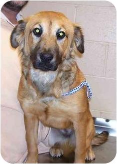 Shepherd (Unknown Type) Mix Dog for adoption in Osceola, Arkansas - Kelly