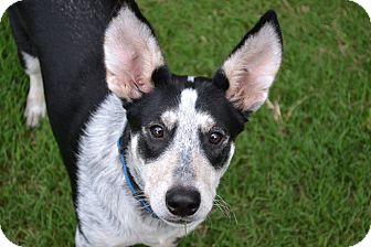 Catahoula Leopard Dog/Terrier (Unknown Type, Medium) Mix Dog for adoption in Alabaster, Alabama - Handsome Ollie