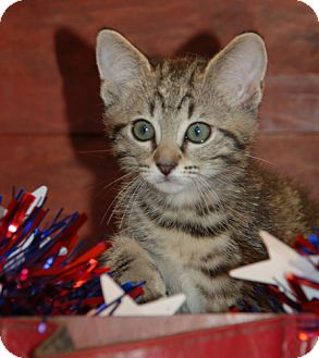 Domestic Shorthair Kitten for adoption in Flower Mound, Texas - Pippin