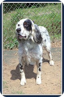 English Setter Dog for adoption in Marietta, Georgia - THEO (R)
