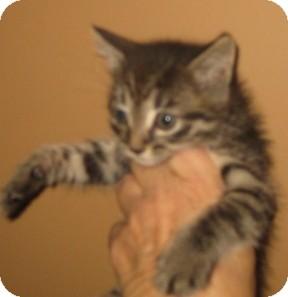 Bengal Kitten for adoption in Dallas, Texas - Pixel