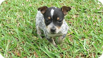 Jack Russell Terrier/Terrier (Unknown Type, Small) Mix Puppy for adoption in Middleburg, Florida - Chloe