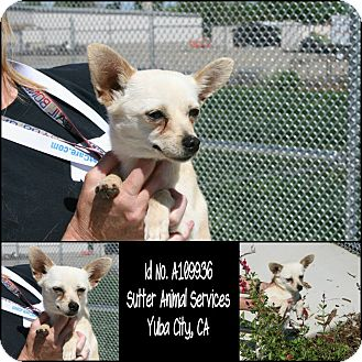 Chihuahua Mix Dog for adoption in Yuba City, California - 04/03 Crema